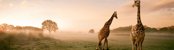 Two giraffes on African plain